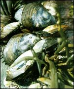 Mussels: Under threat