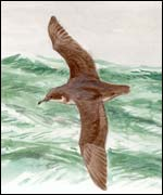 Balearic Shearwater (pic courtesy of Juan Varela)