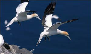 Gannets (pic courtesy of RSPB images)
