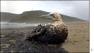 An oil-soaked bird sits on the beach of Mar de Fora near Finisterre, northern Spain