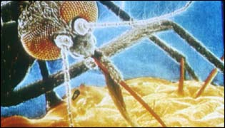 magnified picture of a malarial mosquito