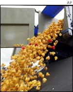 Ducks being emptied into the water for the start of the race
