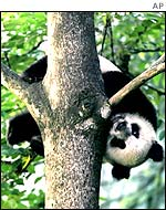 Baby panda in tree, AP