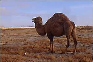 Camel with refinery in distance   A Kirby