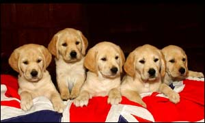 Guide dog puppies. PA