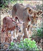 Lioness with baby Onyx