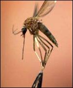 Malaria mosquito