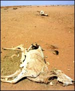 A skeletal cow lies dead in the parched earth