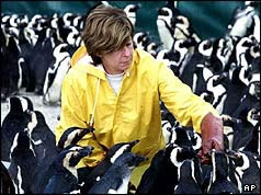 Photo of a conservationist tending to damaged penguins