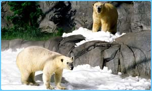 Polar bears at Sea World in Brisbane