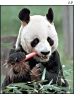 Panda eating a carrot