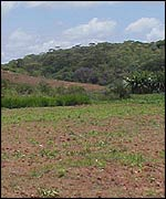 Barren maize field