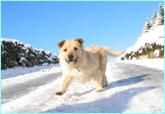 Jack the terrier enjoys playing in Ireland's snow