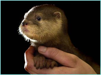 Say hello to Snowdrop, one of two baby otters being looked after at Dartmoor Wildlife park