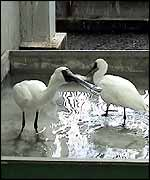 Spoonbills receiving treatment   Dr Fang-tse Chan (one-off use)
