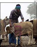 A Bangladeshi farmer covers a calf with jute sacks to keep it warm