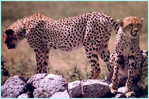 These cheetahs live on the Serengeti Plains in Tanzania, East Africa and are the fastest animals on earth clocking up a speedy 60 mph!