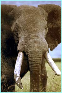 African elephants are the largest mammal living on earth and can weigh up to 7 tonnes.