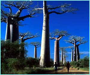You'll find these amazing trees on the Avenue des Baobabs on the African island of Madagascar. Some of the trees are 1,500 years old.