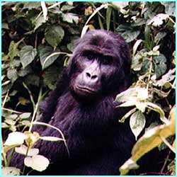 Africa is also home to the rare mountain gorillas that live along the borders of DR Congo, Rwanda and Uganda - there are only about 674 left