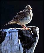 Skylark on treestump   RSPB
