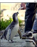 A penguin is fed at San Francisco Zoo