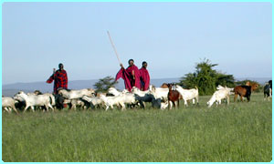 A big part of their traditional life is herding cattle and in this case goats