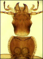 Wood beetle, Science/Mark W. Westneat