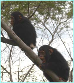 Later they are introduced gradually into the community so that they are accepted by the other chimps