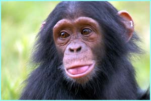 A lot of the chimps that come to the island are babies - their parents have often been taken by poachers