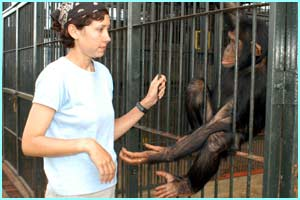 When they first arrive at the island they are very scared and traumatised so are kept separately to the other chimps