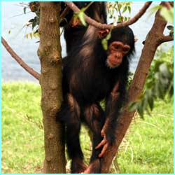 But the harsh truth is, if nothing's done to stop the poachers, wild chimps will die out