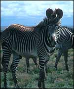 Grevy's zebras on plain   Patricia D Moehlman 1985 (One-time use)