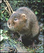 Water vole, English Nature
