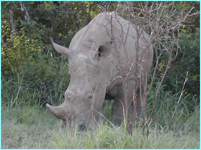 A last view of a rhino as the Newsround crew heads back to base camp