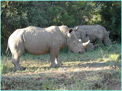 A breathaking sight: three rhinos grazing