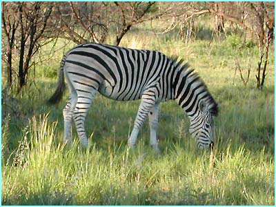 A zebra from the Pilanesberg game reserve in South Africa