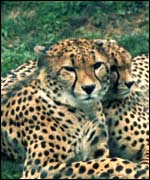 A pair of cheetahs