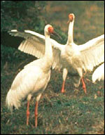 Crane, Archibald/International Crane Foundation