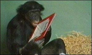 Primate opening a Christmas gift