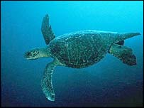 An Olive Ridley turtle