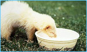 Can Ferrets Pass Disease To Dogs