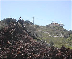 Uprooted tree with Shareh Tikva in the background