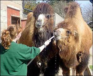 Keeper Clare Ellis giving water to Bactrian Camels