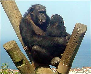 Tuppence the chimp with baby Jessie