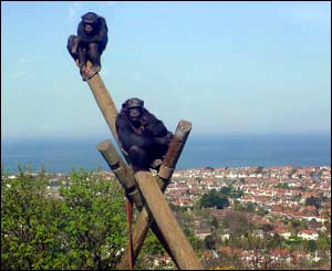 Chimps above Colwyn Bay