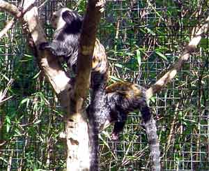 Young Marmoset monkeys