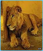 A lion at Baghdad  Zoo