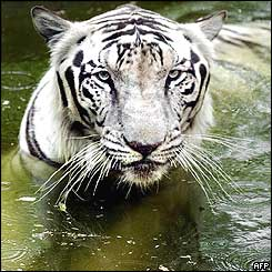 An Indian White Bengal tiger takes a cooling dip in a pond at Delhi zoo