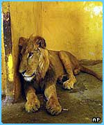 A lion resting in Baghdad zoo